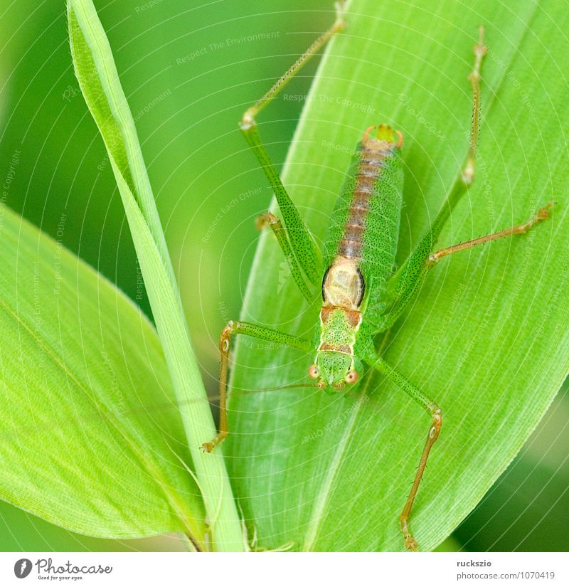 Green Animal Wild animal Wing Insect Camouflage Locust Invisible Articulate animals Similar Long-horned grasshopper Protective function