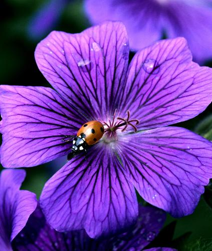 Marienkaefer, Coccinella, semptempunctata, Nature Plant Animal Summer Blossom Beetle Free Red Black White Geranium Ladybird coccinella Insect more able to fly