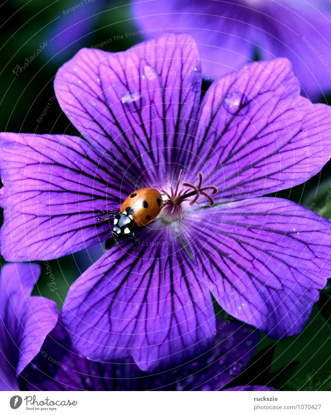 Nature Plant White Summer Red Animal Black Blossom Free Insect Beetle Ladybird Object photography Good luck charm Geranium Airworthy