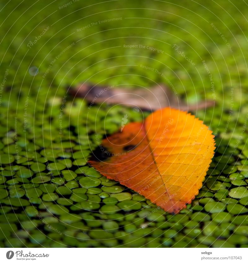 Autumn leaf Leaf Green Yellow Maple tree Maple seed Brown Pond Plant Water nose twitter Autumnal