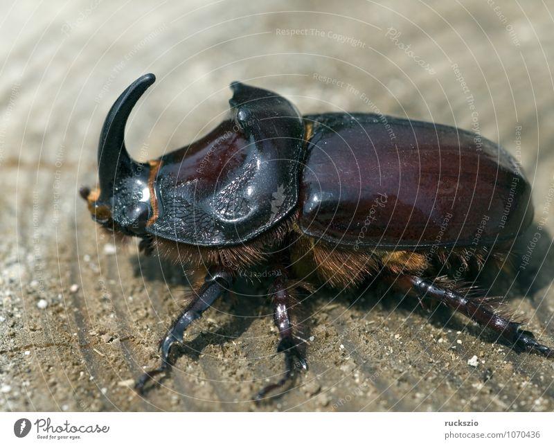 Rhinoceros, Oryctes, nasicornis, male, Masculine Nature Beetle Safety (feeling of) European rhinoceros beetle orycte Seldom Cor anglais taller Rhinoceros beetle