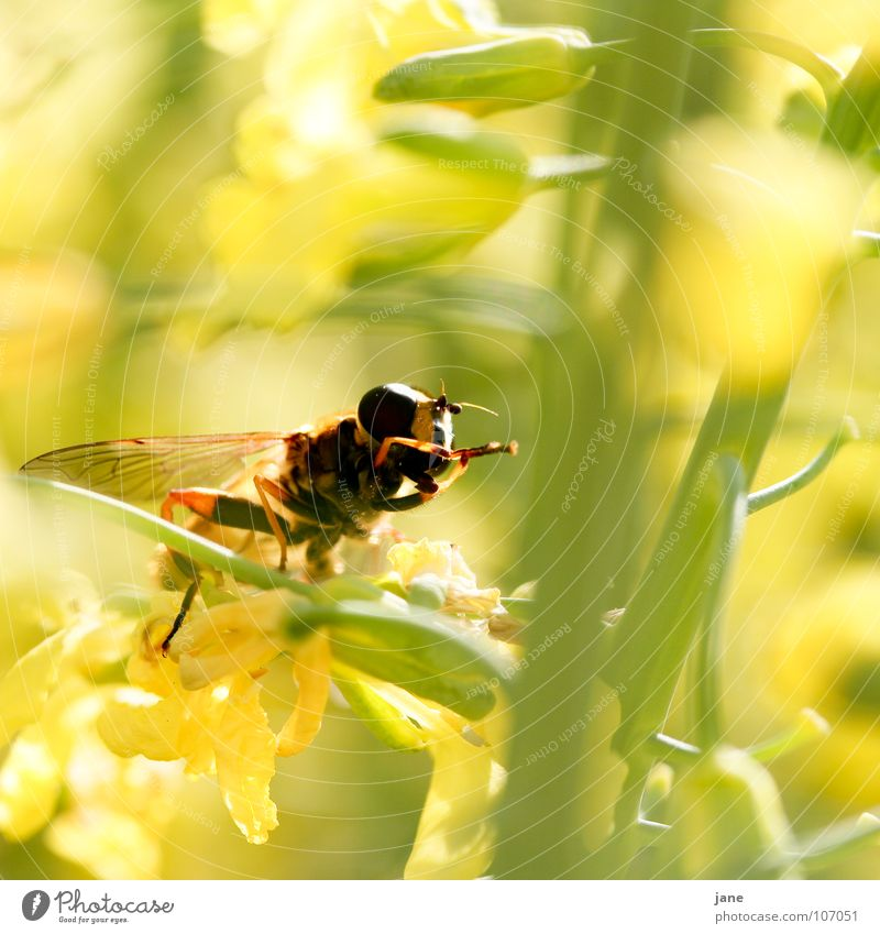 Flower Green Plant Summer Animal Yellow Meadow Blossom Spring Landscape Fly Insect Cleaning Collection To feed Feeler