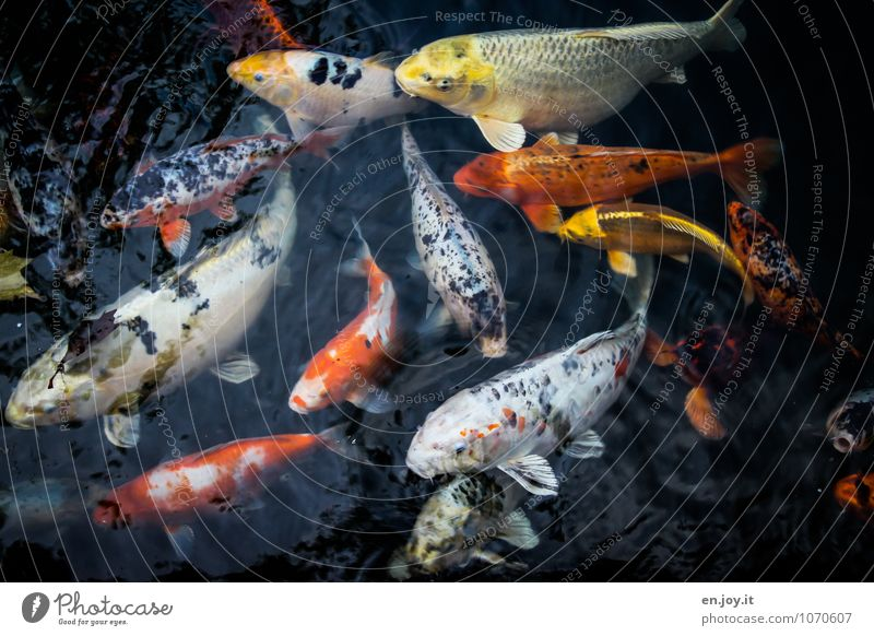 Hunga, Hunga, Hunga Luxury Exotic Fishing (Angle) Water Animal Goldfish Koi Carp Flock Swimming & Bathing Orange Black Life Voracious Fish breeding