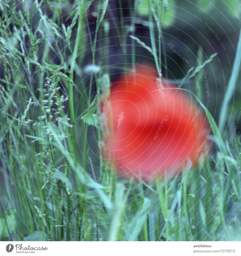 gossip rose Nature Plant Spring Summer Beautiful weather Flower Grass Corn poppy Poppy blossom Poppy field Garden Park Meadow Blossoming Exceptional Fantastic