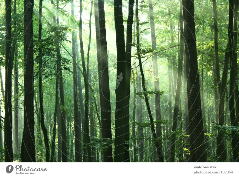 Tree Sun Green Summer Forest Fog Romance Peace Virgin forest Damp Mystic Fairy tale Magic Beam of light Enchanted forest