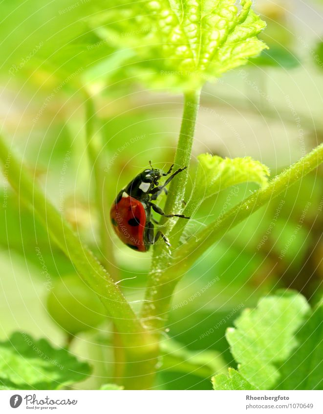 ladybugs Nature Animal Summer Beautiful weather Plant Garden Beetle 1 Flying To feed Crawl Elegant Red Leisure and hobbies Ladybird Colour photo Exterior shot