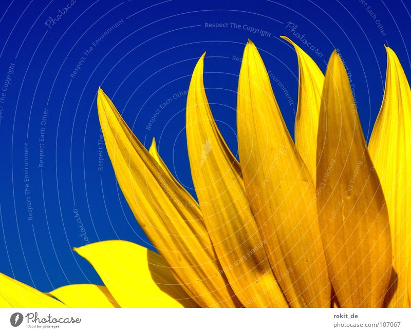 Sky Blue Summer Yellow Cold Blossom Warmth Lighting Physics Stalk Burn Oil Sunflower Flame Brilliant Blossom leave