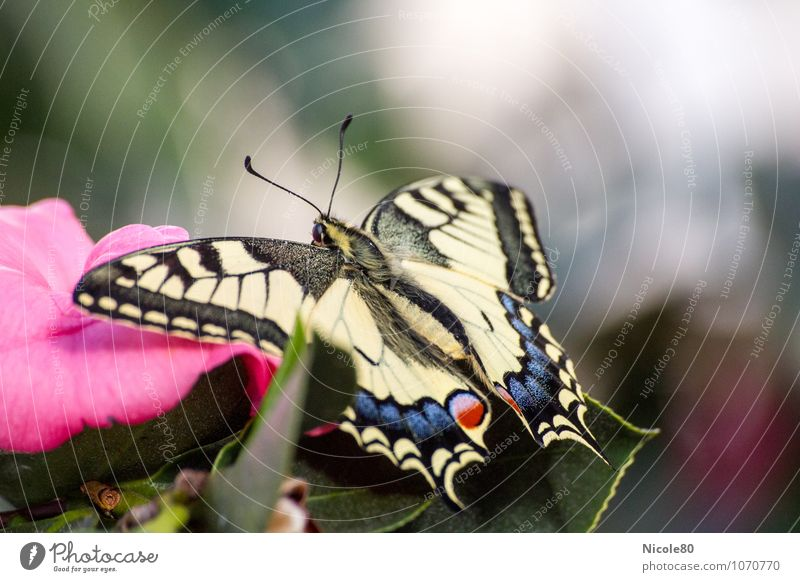 le papillon Animal Butterfly 1 Ease Swallowtail Delicate Easy Insect Wing Blossom Colour photo Interior shot Deserted Copy Space right Copy Space top
