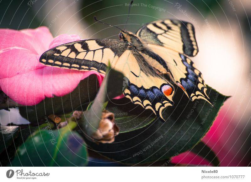 dovetail Butterfly Lie Swallowtail Insect Blossom Airplane landing Wait Spring butterfly wings Wing Delicate Colour photo Interior shot Macro (Extreme close-up)