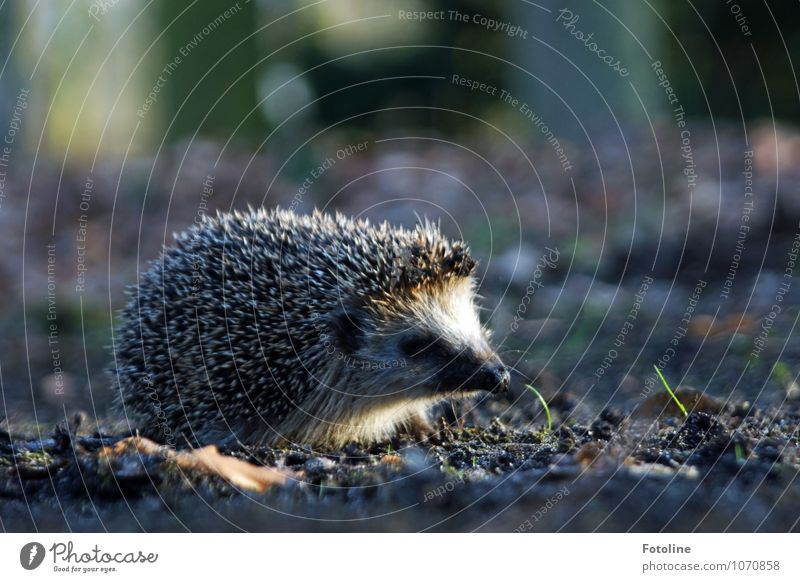 hedgehogs Environment Nature Plant Animal Elements Earth Sand Spring Grass Park Forest Wild animal Animal face 1 Bright Small Near Thorny Hedgehog Spine