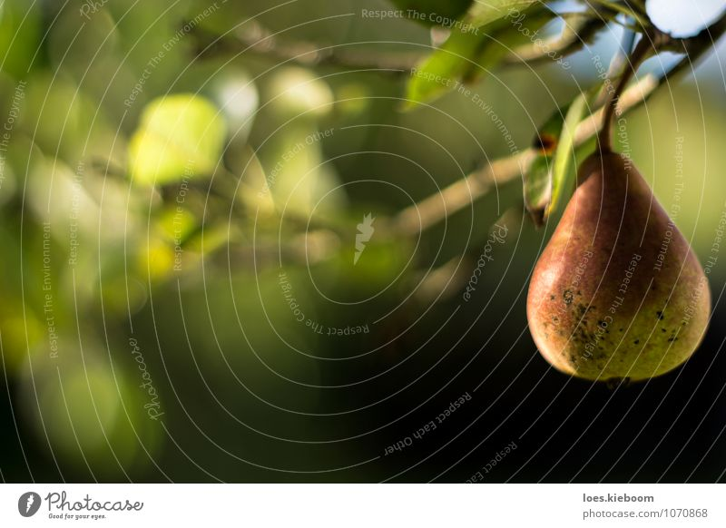 lonely pear Fruit Wellness Relaxation Calm Summer Sun Thanksgiving Nature Autumn Plant Tree Leaf Agricultural crop Garden Fresh Healthy Delicious Natural Green