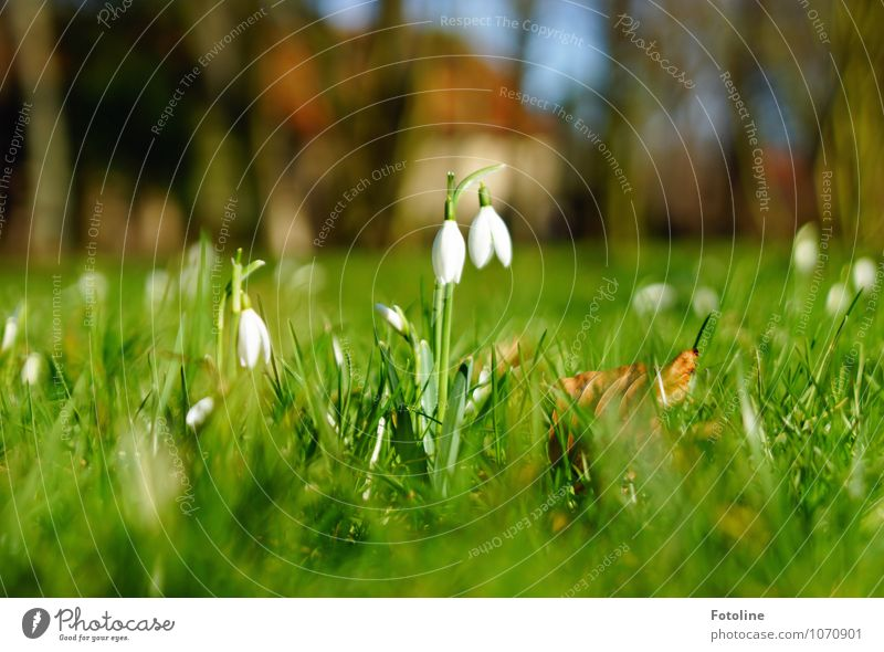 bell ring Environment Nature Plant Spring Beautiful weather Flower Blossom Garden Park Meadow Bright Near Natural Brown Green White Snowdrop