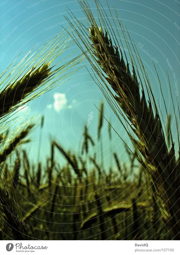 Sky Green Blue Nutrition Grass Field Grain Agriculture Appetite Harvest Blade of grass Grain Seed Cornfield Wheat Straw