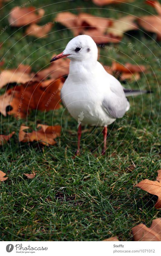 autumn gull Environment Nature Plant Animal Autumn Grass Leaf Autumn leaves Meadow Bird Seagull Wild bird Sea bird Looking Stand Natural Brown Green White Calm
