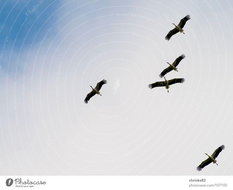 White Joy Black Happy Warmth Air Bird Wind Flying Large Sailing Beak Stork Flock Glide