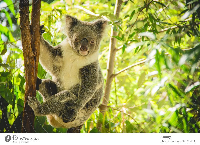 koalalalala SECOND Tree Leaf eucalyptus Eucalyptus tree Forest Virgin forest Australia Animal Wild animal Zoo Koala 1 Observe To hold on Hang Exotic Natural