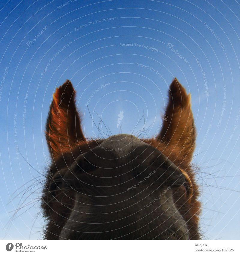 Sky Blue Eyes Animal Funny Nose Horse Perspective Point Pelt Curiosity Listening Animalistic Watchfulness Breathe Mammal