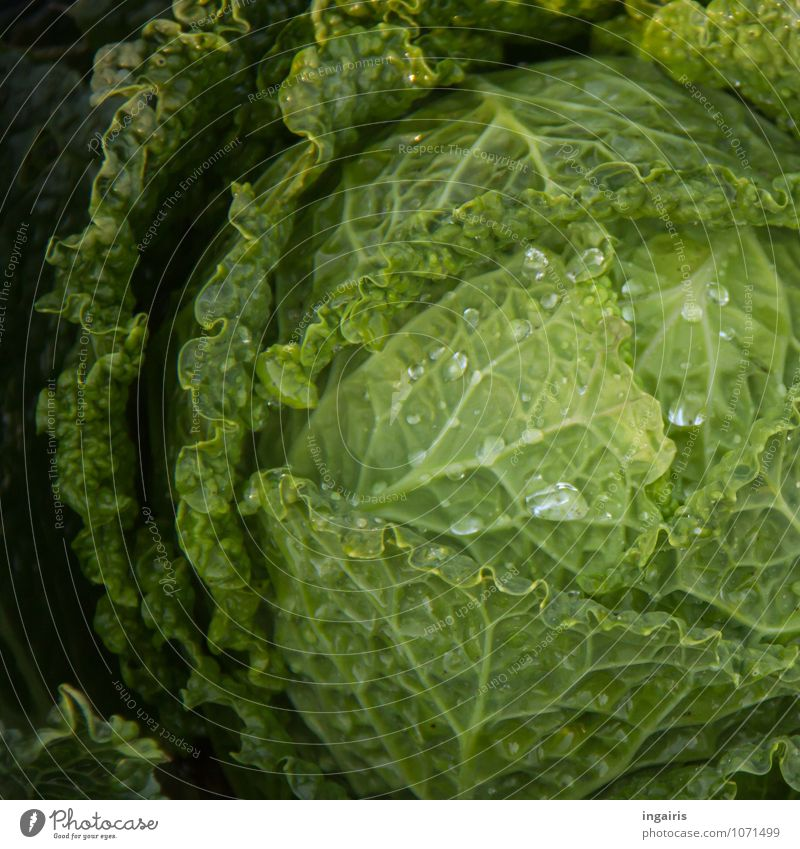 savoy cabbage head Food Vegetable Nutrition Organic produce Vegetarian diet Plant Agricultural crop Cabbage Savoy cabbage Garden Glittering Growth Wet Natural