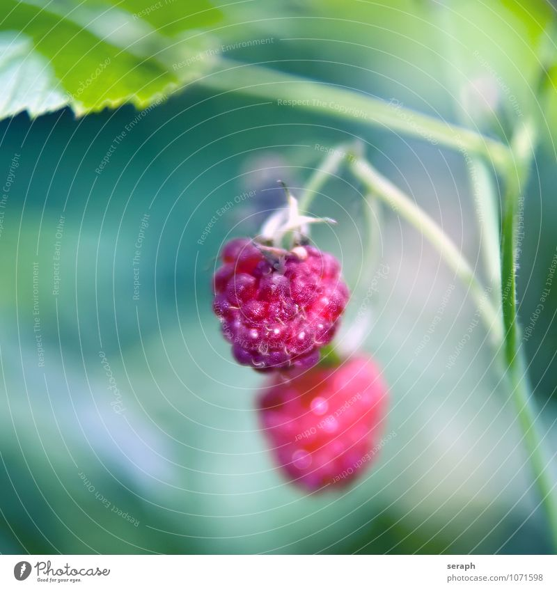 Raspberries Raspberry Fruit Sweet Berries Garden Flower Plant Fresh Food Healthy Eating Thorny Cultivation Botany Vegetarian diet Delicious Nature Natural