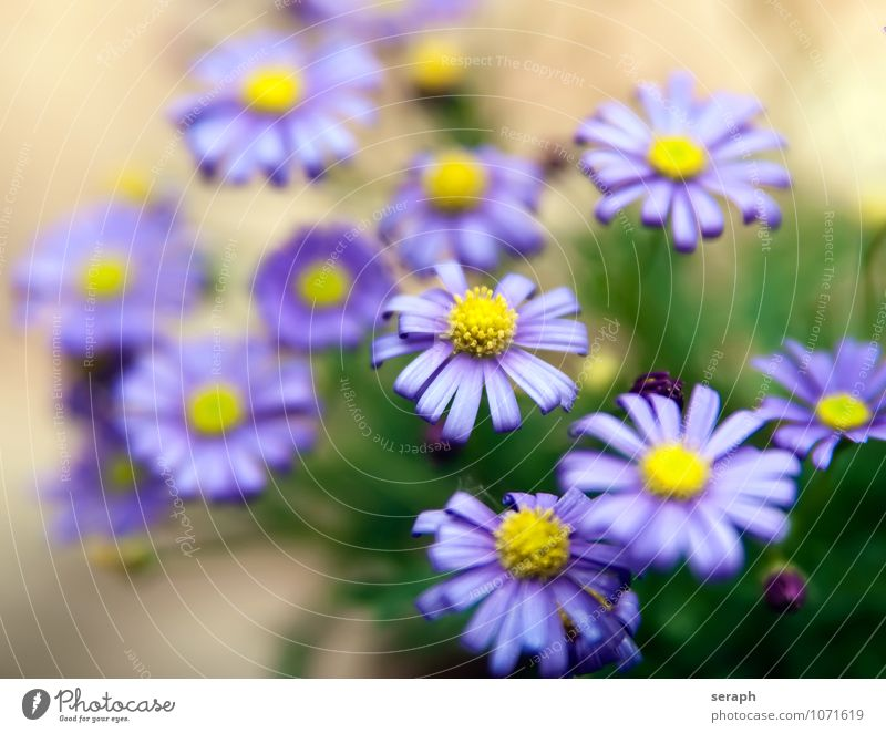 Aster flowers Stamen Arrangement stamp Flower Blossoming florescence Daisy Marguerite Growth Plant Floral Leaf Blossom leave Beauty Photography Fresh