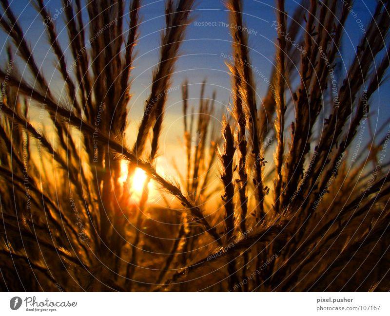 Home_Sundown Sunset Common Reed Yellow Grass Autumn Grain Sky Blue Orange Evening