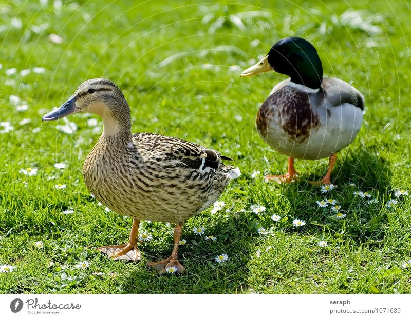 Ducks Animal Beak Bird Brown fauna Feather fowl Mallard Nature Ornithology Exterior shot plumage Sit Living thing talon Duck birds Wild Wing Walking March