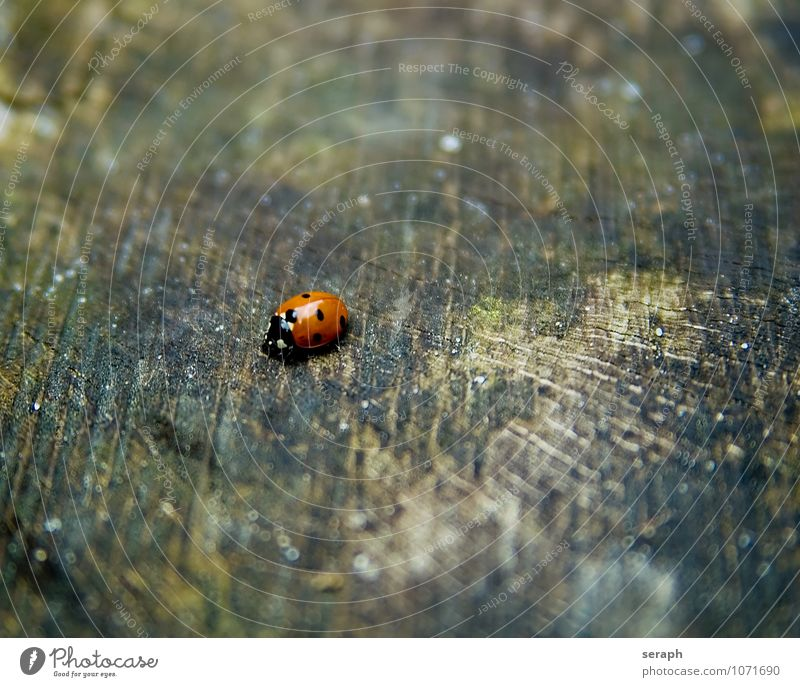Ladybird Beetle Insect Animal Symbols and metaphors Symbolism lucky New Year's Party New Year's Eve Wood Crawl Moss Weathered Biology Natural Small Cute Point