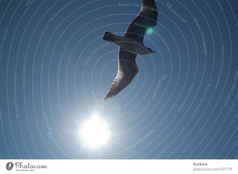 The seagull fly Summer Sky Bird Black-headed gull  sun freedom wing ocean Wind