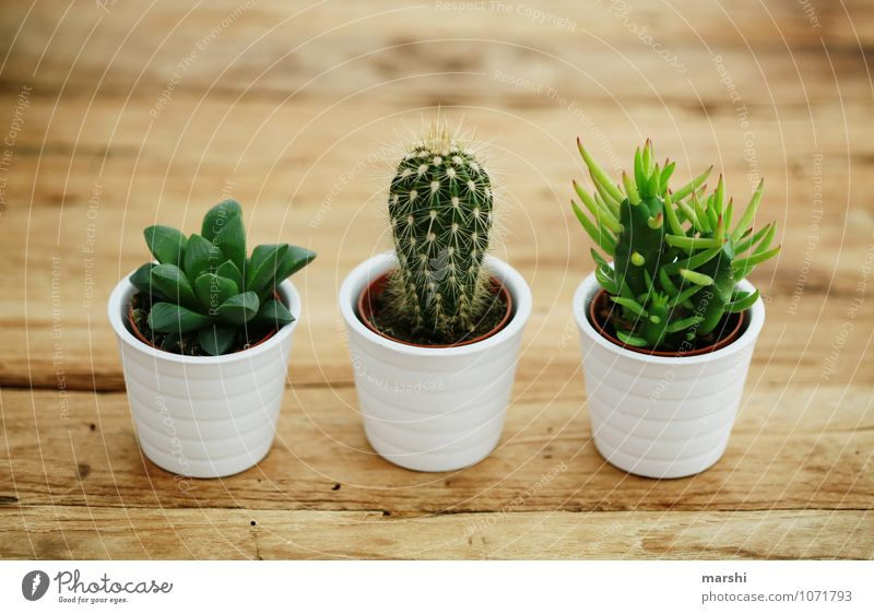 trio Nature Plant Green Cactus Green thumb 3 Wooden table Decoration Spine Thorny Beautiful Succulent plants Colour photo Interior shot Day