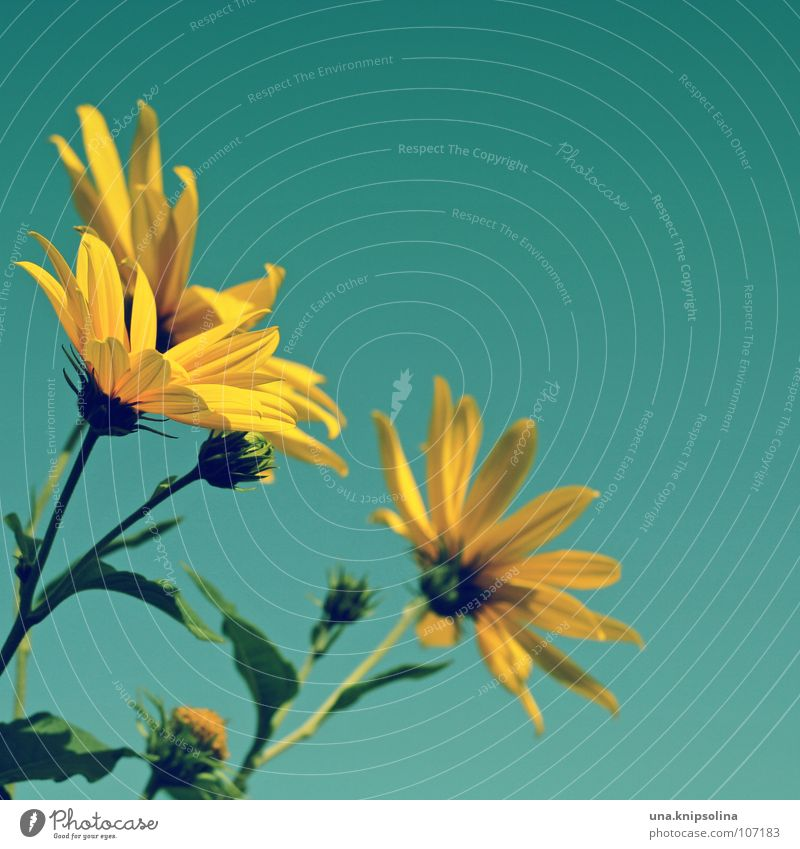 Sky Blue Green Summer Plant Flower Yellow Blossom Seasons Turquoise Bud Blossom leave Summery Good mood