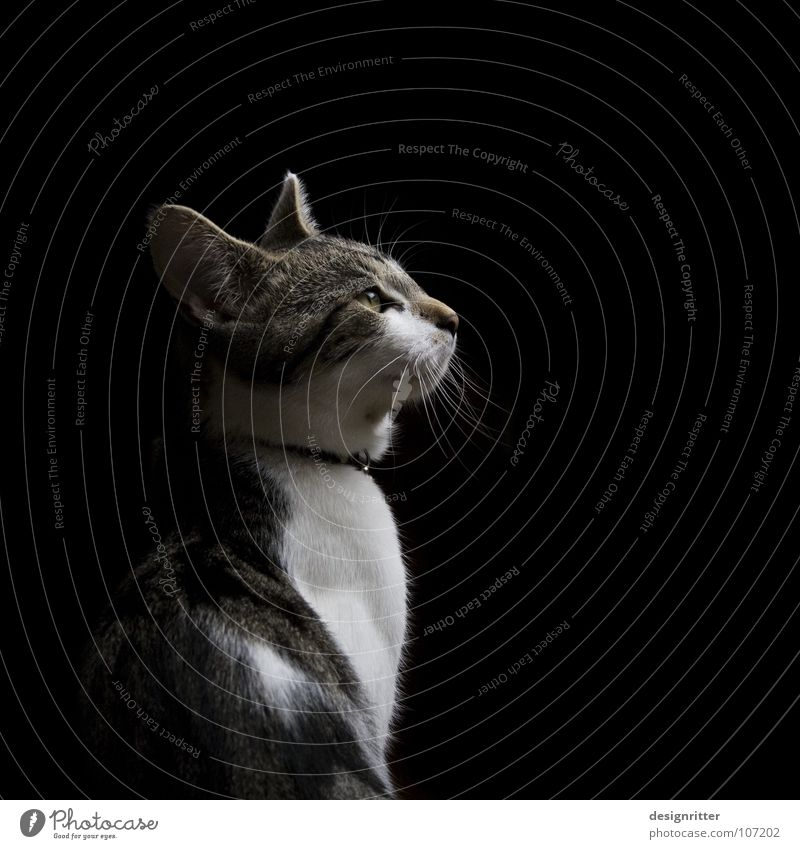 Dark Cat Wait Observe Concentrate Listening Hunting Animal Testing & Control Watchfulness Mammal Nerviness Hunter Domestic cat Anxious