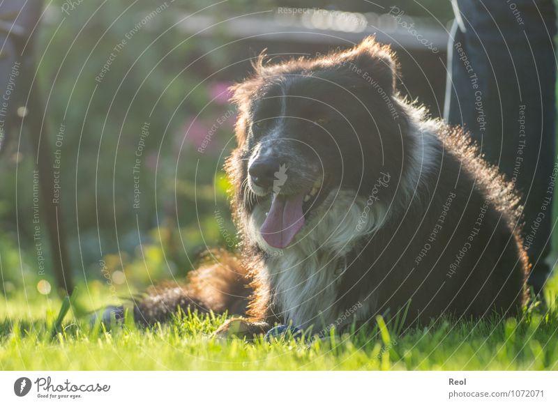 sunbath Summer Plant Grass Garden Meadow Pet Dog border collie Breathe Tongue Lie Herding dog 1 Animal Illuminate Black White Head Pelt Living or residing