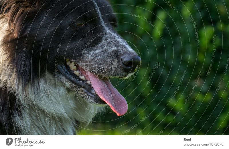 Dog Nature Green White Relaxation Calm Animal Black Life Head Nose Sharp thing Pelt Set of teeth Watchfulness Pet
