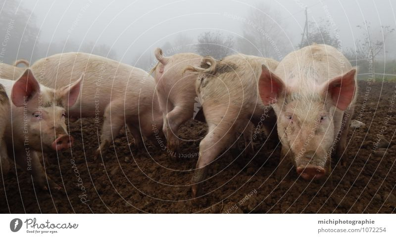 pigs Farm animal Group of animals Fragrance Eating Make Cleaning Healthy Smart Beautiful Brown Gray Pink Happiness Contentment Joie de vivre (Vitality)