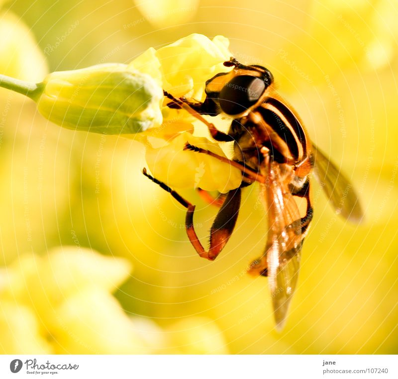 I want to suck Summer Landscape Plant Animal Spring Flower Blossom Meadow Fly Collection To feed Yellow Green Pollen Wasps Feeler Honey Insect Stamen Trunk