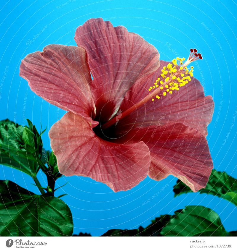 Nature Blue Red Blossom Free Medication Still Life Tea plants Object photography Medicinal plant Pot plant Neutral Hibiscus Set free