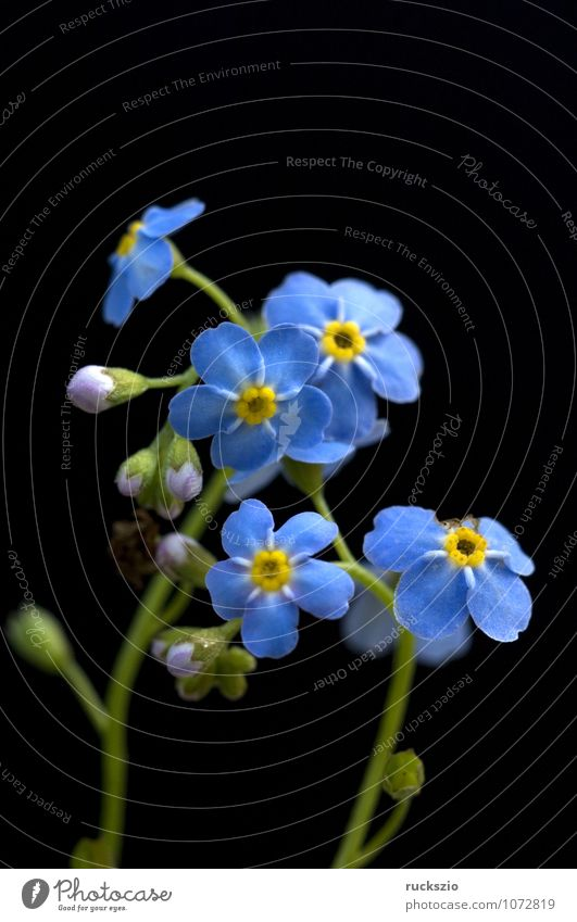 Forget-me-not swamp, Myosotis palustris Water Leaf Bog Marsh Pond Lake Free Blue Black Forget-me-not Swamp myosotis palustris blue blossom