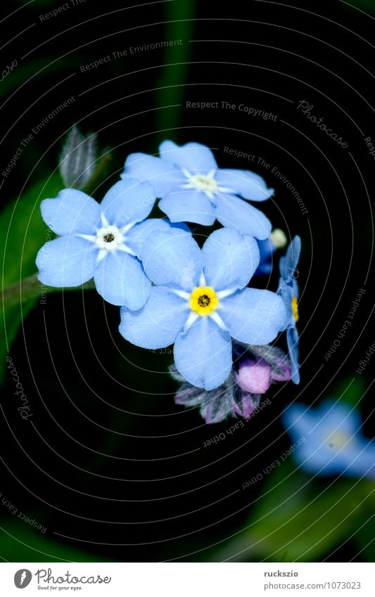 Forget-me-not swamp, Myosotis palustris Summer Nature Plant Flower Blossom Blossoming Free Blue Black sylvatica Boraginaceae Summerflower garden flowers Botany
