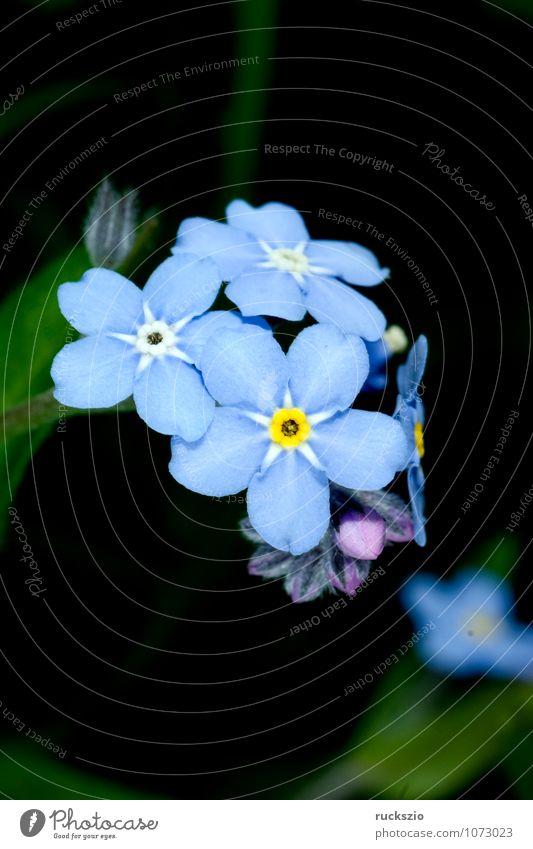 Forget-me-not swamp, Myosotis palustris Summer Nature Plant Flower Blossom Blossoming Free Blue Black sylvatica Boraginaceae Summerflower garden flowers Botany