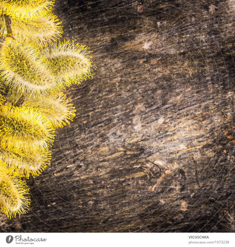 Yellow willow catkin on wood background Style Design Garden Decoration Nature Spring Plant Brown Background picture pussy Pollen April Catkin Allergy Card Wood