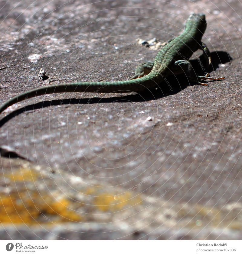 lizard Saurians Animal Escape Fear Panic Tails Claw Exotic Green Wall (barrier) Reptiles