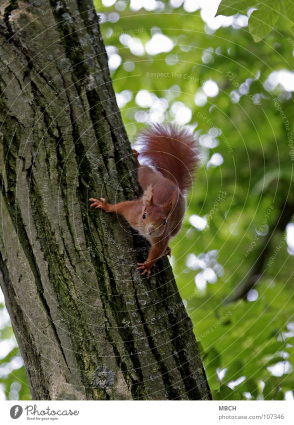 What are you? Squirrel Red Tree To hold on Tree trunk Claw Tails Bushy Cute Animal Rodent Dangerous Flexible Speed Dexterity Mammal Climbing Looking Wild animal
