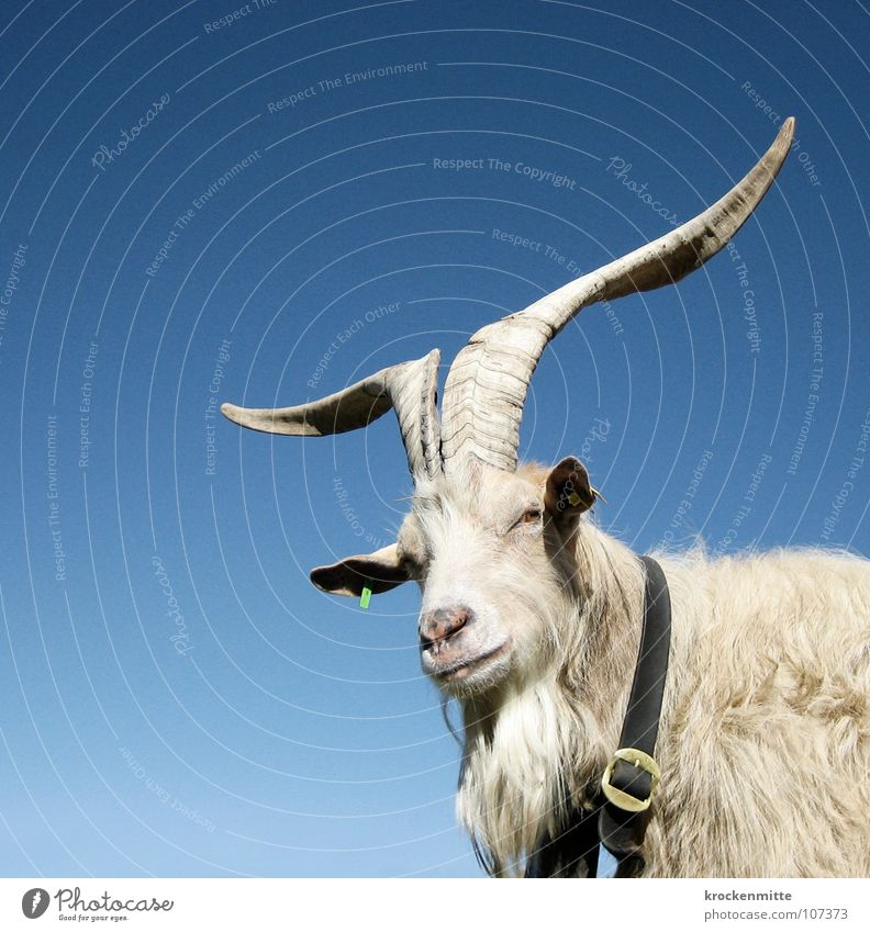 Nature Animal Goats Switzerland Farm Pelt Facial hair Mammal Antlers Alpine pasture Neckband Buckle Canton Graubünden Billy goat Alp Flix