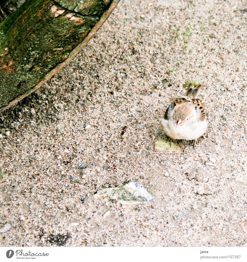 I want to play rock hopping Sparrow Bird Passerine bird Brown Gray Green Playing Cute Sweet bird species passeridae cultural follower Stone