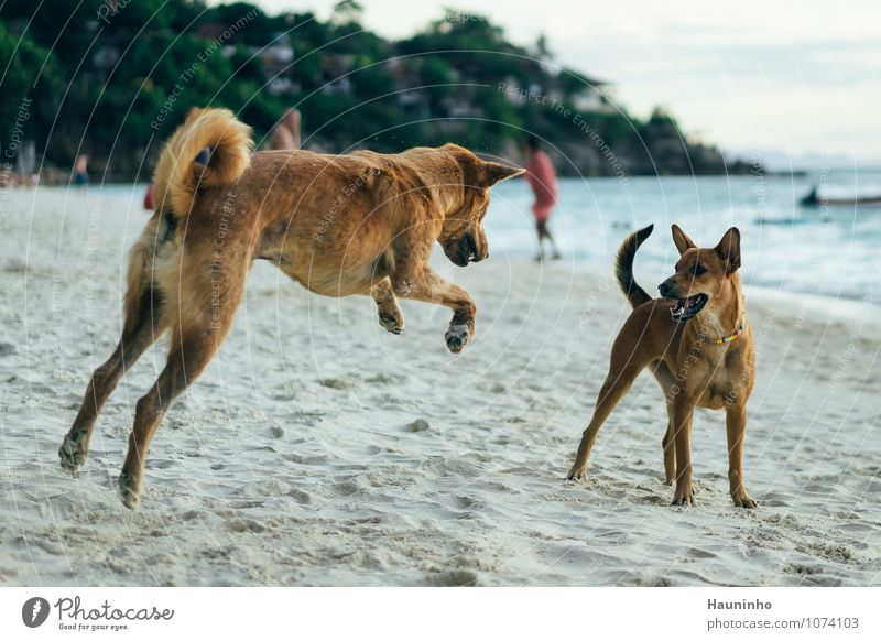 playing dogs Vacation & Travel Adventure Summer vacation Beach Sand Water Beautiful weather Tree Wild plant Ocean Thailand Animal Pet Dog Crossbreed 2