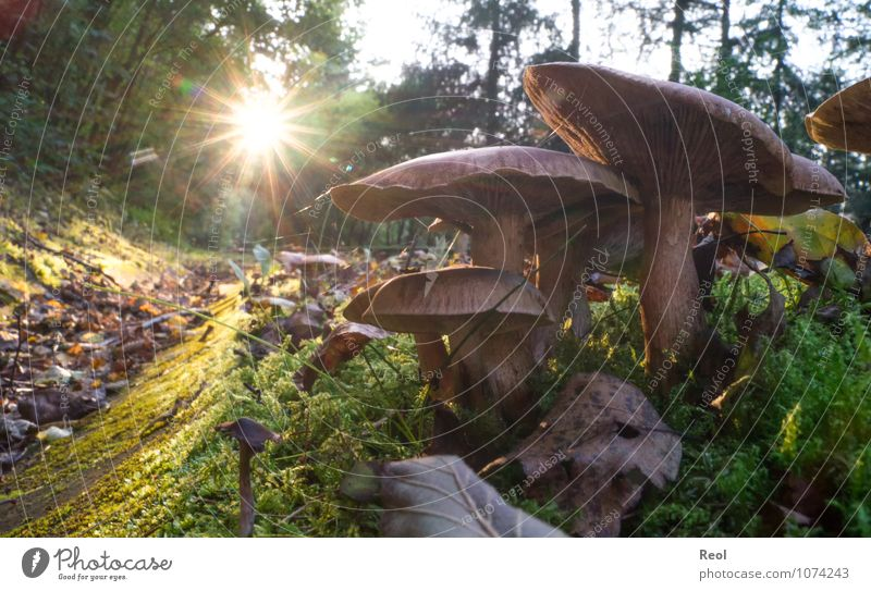 Mushrooms in the sunset Nature Plant Elements Earth Sun Sunrise Sunset Sunlight Autumn Grass Moss Foliage plant Wild plant Mushroom cap Leaf Meadow Forest