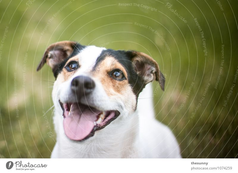 Dog Nature Green White Joy Animal Meadow Grass Laughter Action Wait Observe Pelt Set of teeth Animal face Pet