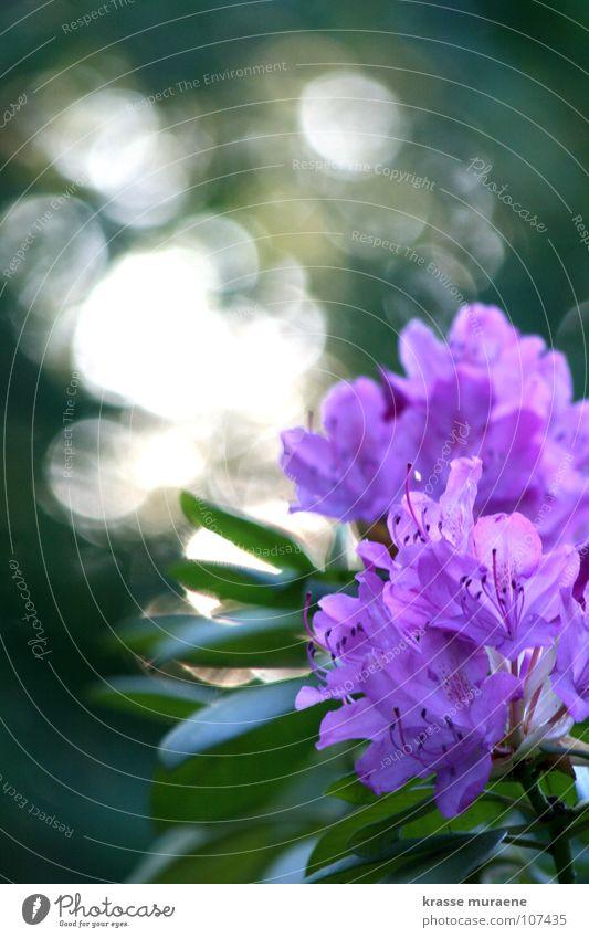 Glittering Silver Guillemot Flower Violet Green Light Summer Joy Evening