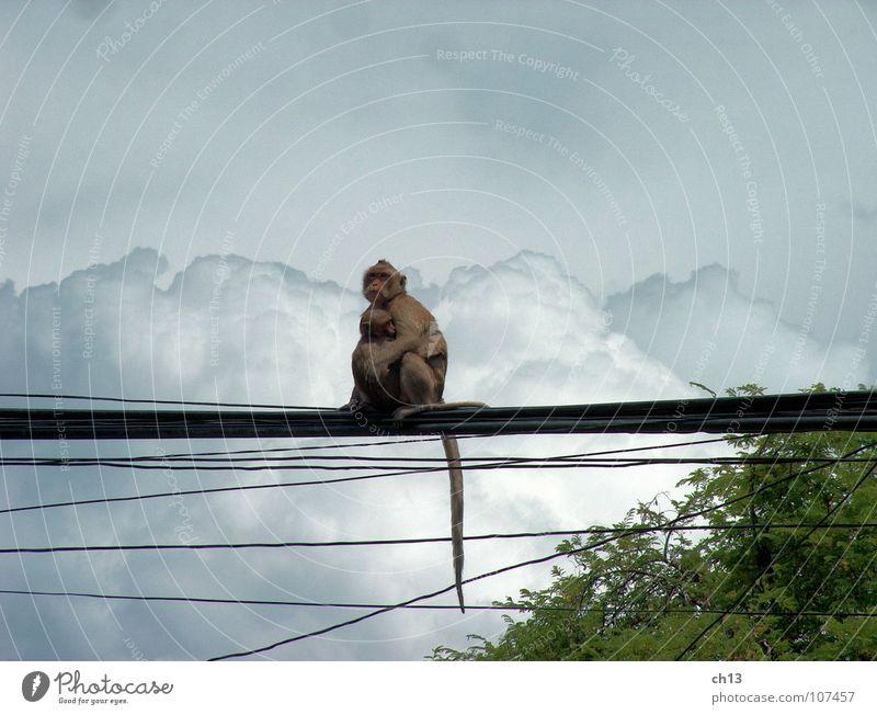before the storm Monkeys Animal Monsoon Clouds Mammal Asia Sky monkey Thunder and lightning Rain