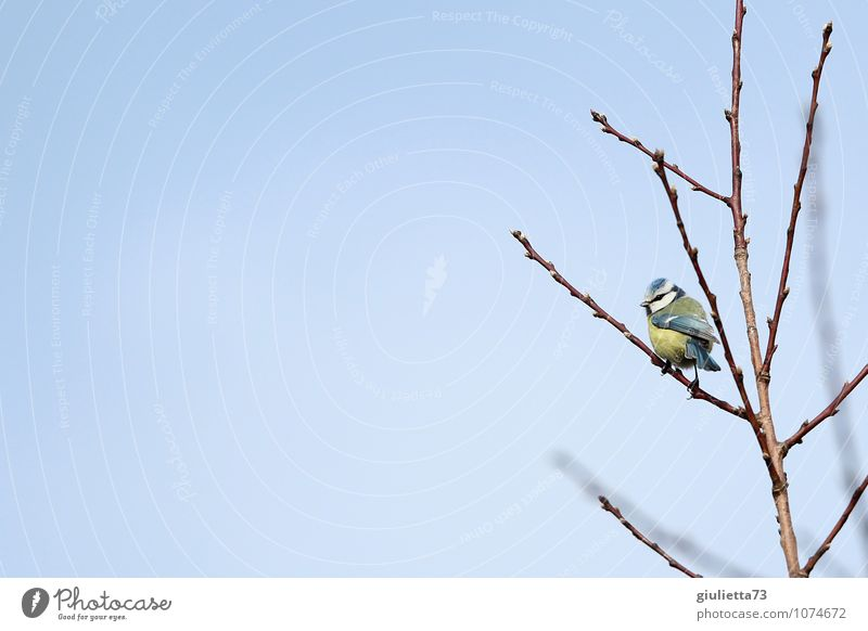 Sky blue and sun yellow Environment Nature Animal Cloudless sky Spring Tree Garden Wild animal Bird Tit mouse Songbirds 1 Observe Crouch Free Small Cute